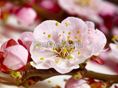 blossom, cherry, flower - 2896529