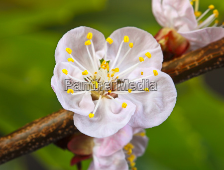blossom, cherry, flower - 2896557