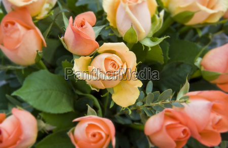 roses - 2897735