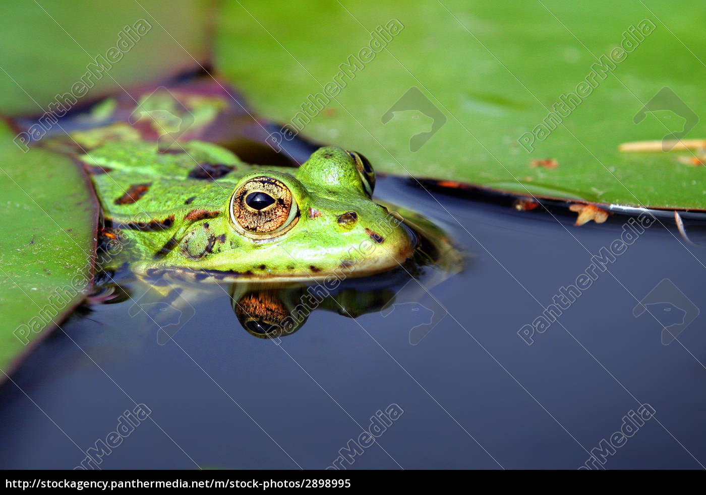 frog, in, water - 2898995