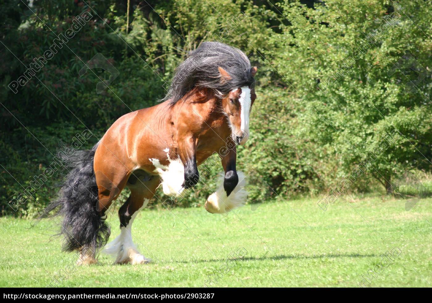 Stock Photo 2903287 - irish cob stallion bucking in the pasture