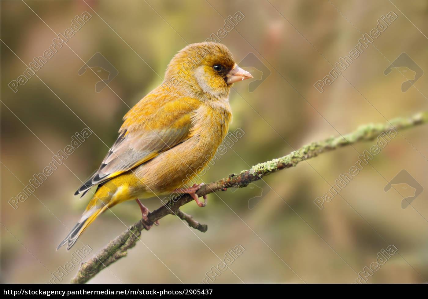greenfinch - 2905437