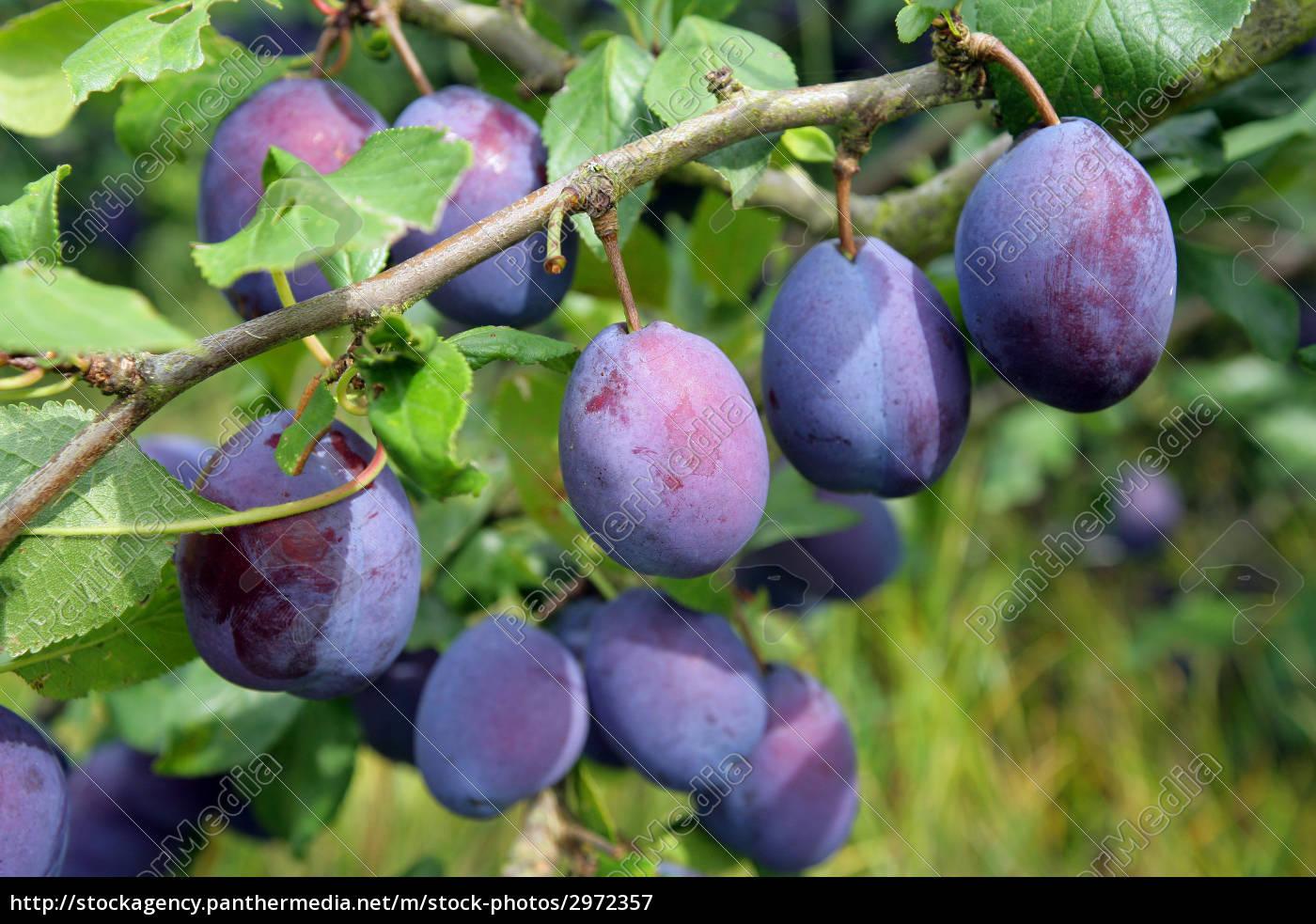 ante, plums, , lot-et-garonne, in, aquitaine - 2972357