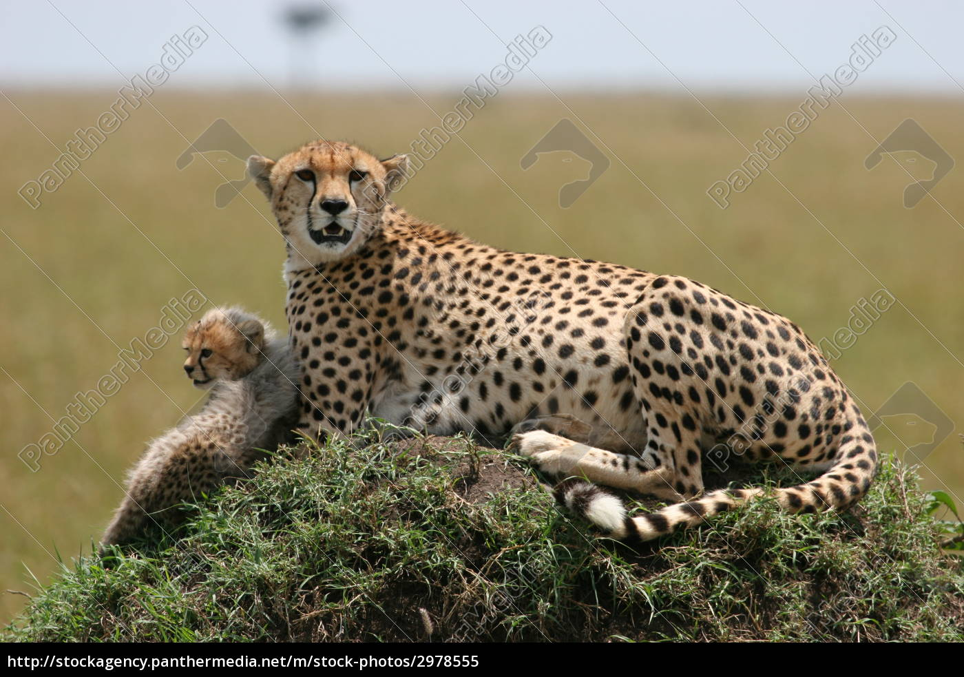 cheetah, with, cub - 2978555