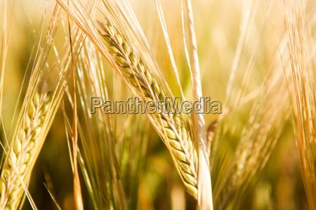 wheat, head, detail - 2986825