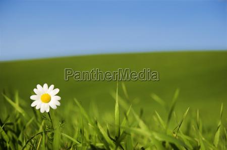 white, daisy - 2989315