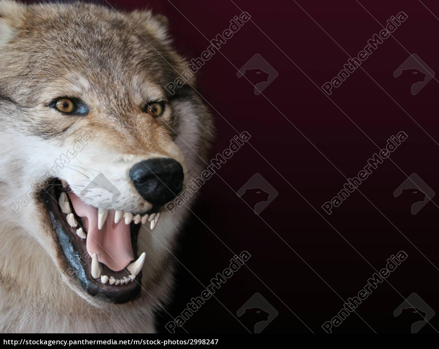 wolf - 2998247