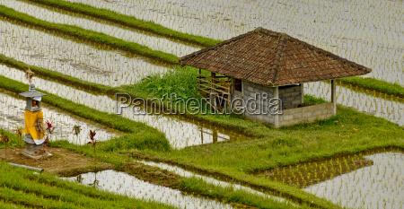 reisfelder bali indonesia
