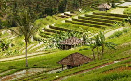 rice fields bali indonesia