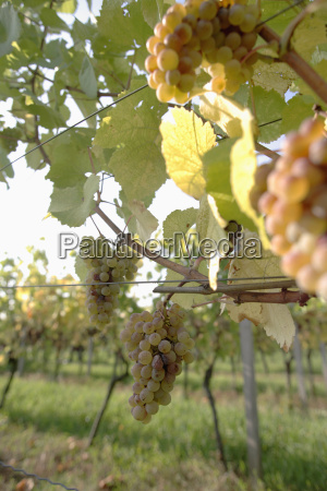white grapes in vineyard close up