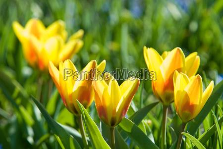 yellow, tulips - 3012577
