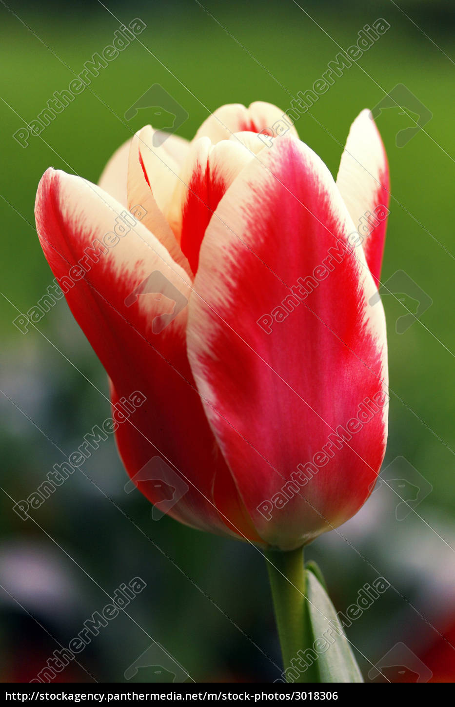 tulips - 3018306