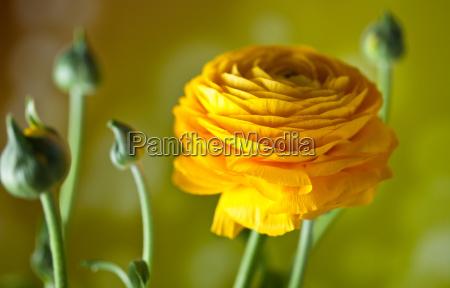 yellow, buttercup, ranunculus, asiaticus - 3018808