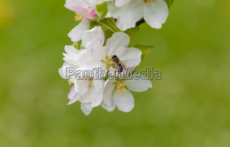 apple tree blossom with bee