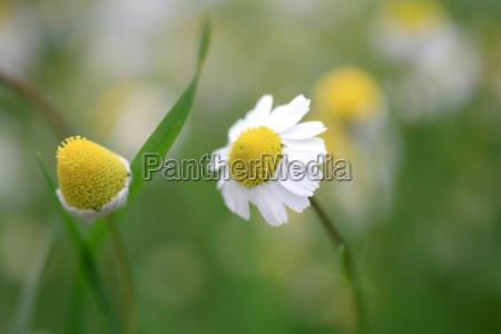 daisy, garden - 3024284