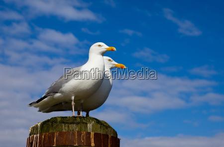 herring gulls pair