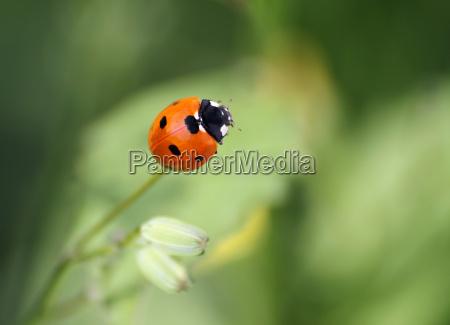 seven-spot, ladybird - 3040447