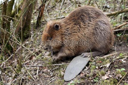 beaver wild live 2