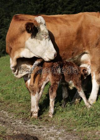 newborn calf with suckler cow