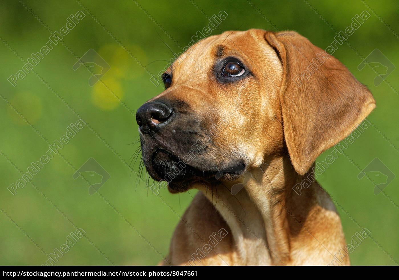 ridgeback, puppy - 3047661