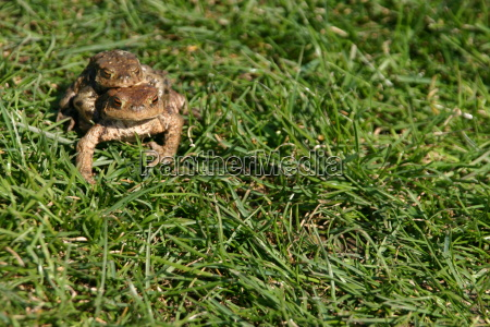 common toads on spawning migration