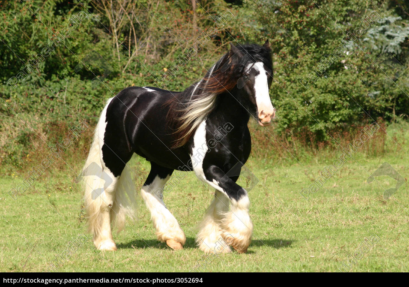 Stock image 3052694 - irish cob stallion tabt on pasture