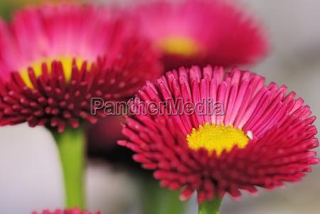 red daisy 23