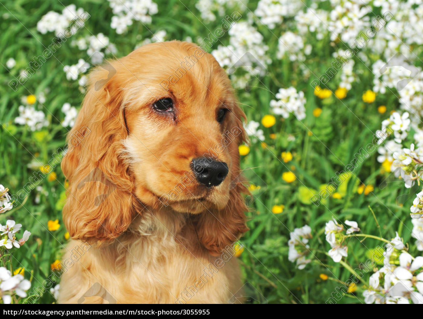 puppy, cocker, spaniel - 3055955