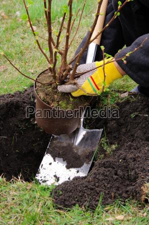 shrub planting planting a shrub