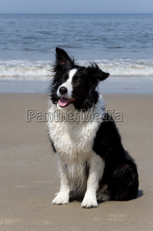 border, collie - 3062685