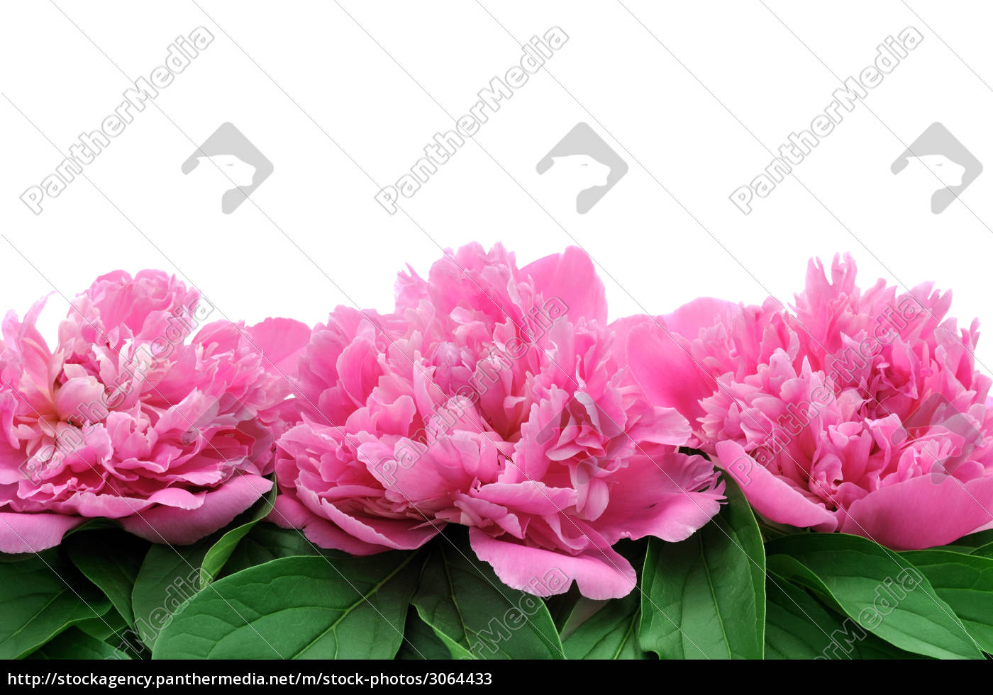 peony, over, white, background - 3064433