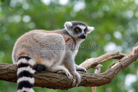 lemur, catta - 3067949