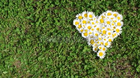 daisy, heart, - 3070027