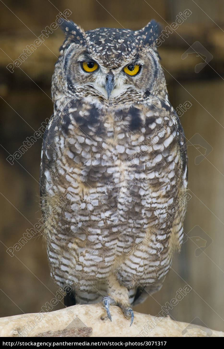 spotted, eagle, owl, portrait - 3071317