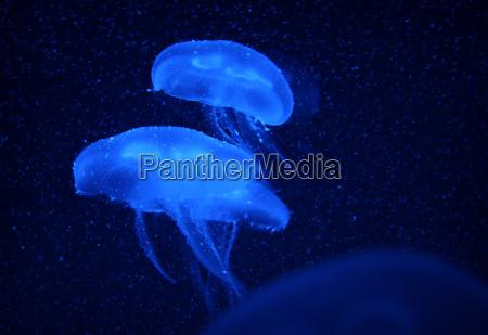 aurelia, aurita, (jellyfish) - 3072361