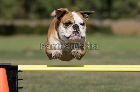 flying, bulldog - 3078875