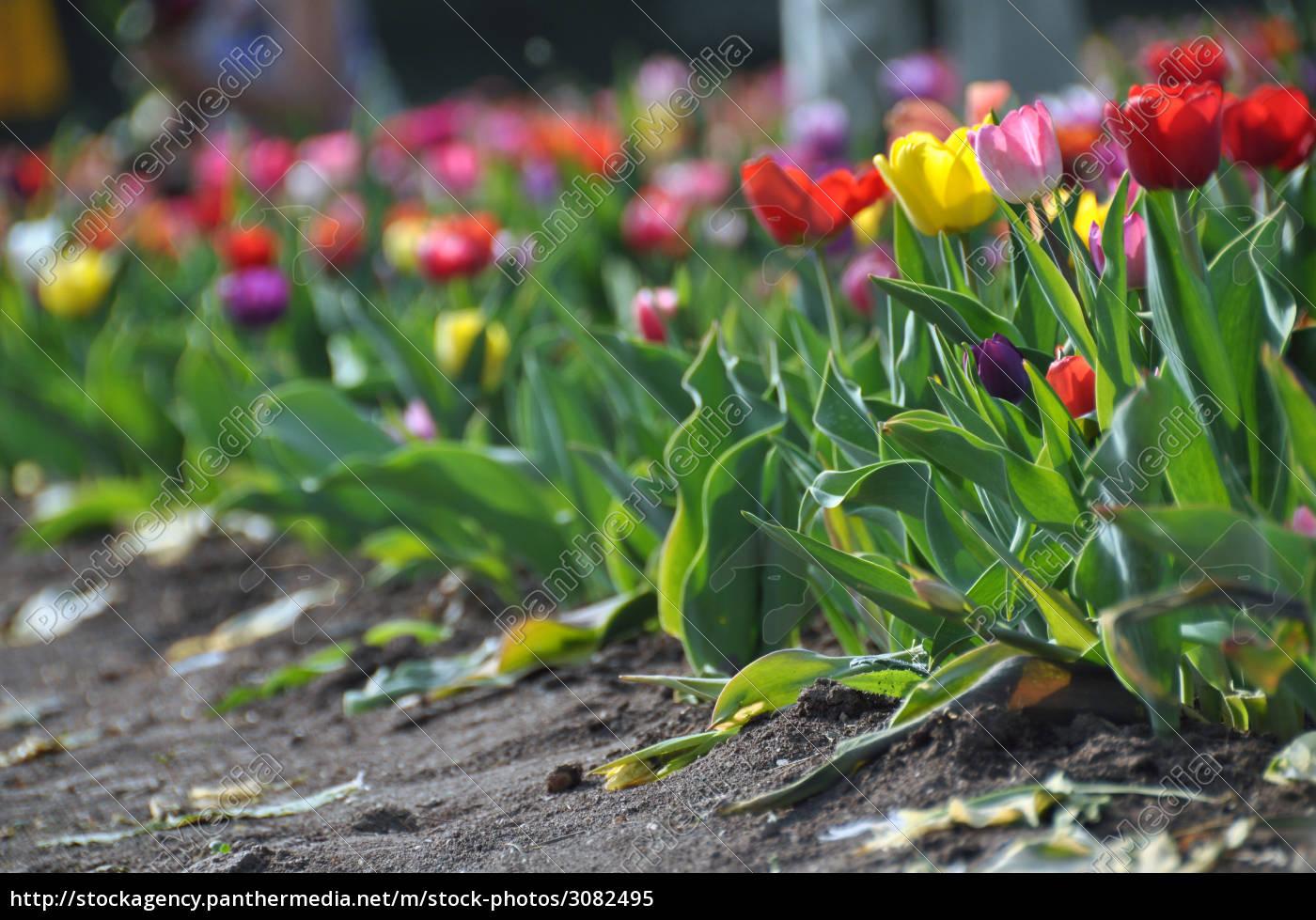tulip, field - 3082495