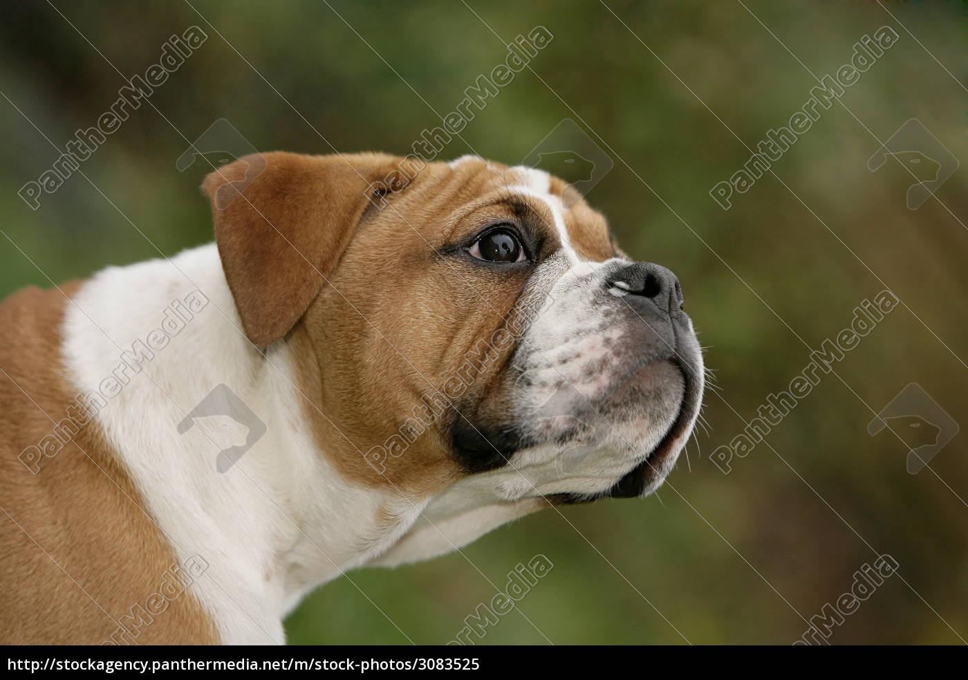 Continental Bulldog Puppy Stock Photo 3083525 Panthermedia Stock Agency