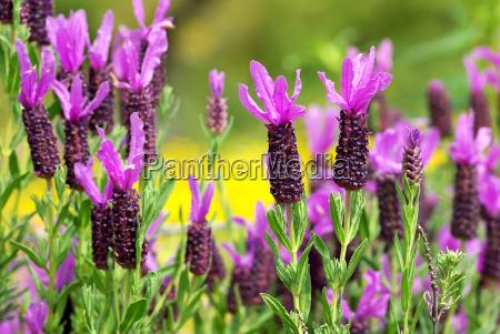 wild lavender in alentejo portugal