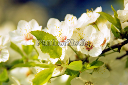 cherry, tree, branch, with, white, flowers - 3088025