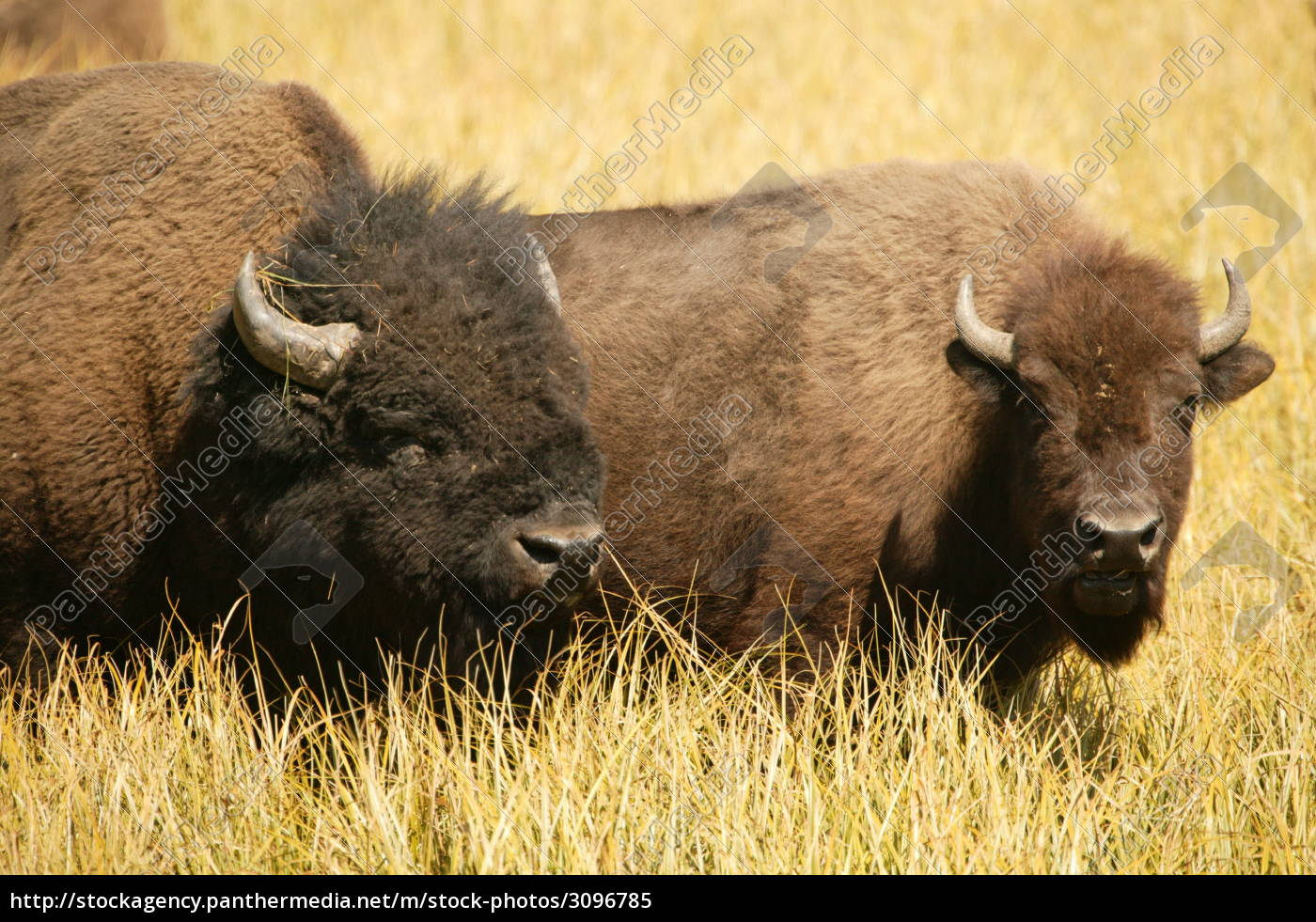 bison, lovers - 3096785