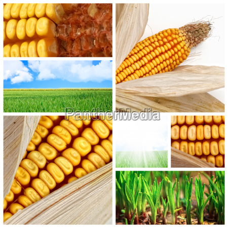agriculture, corn, background - 3097473