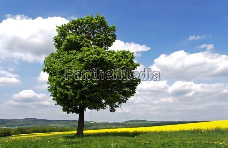 maple, in, spring - 3103949