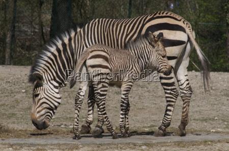 zebra, child - 3109321