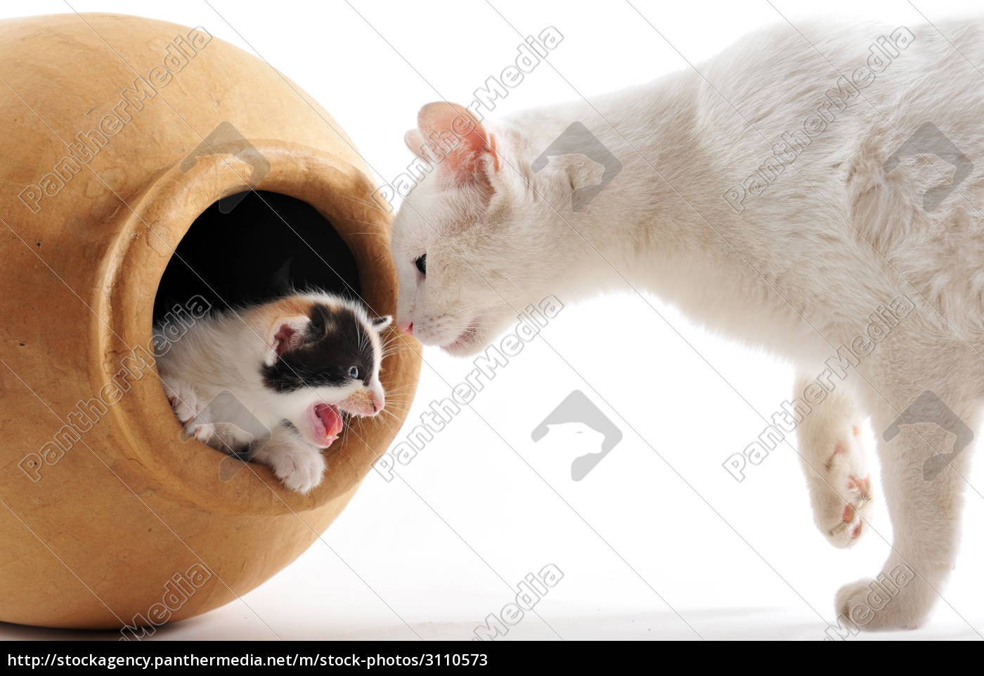 young, black, and, white, kitten, with - 3110573