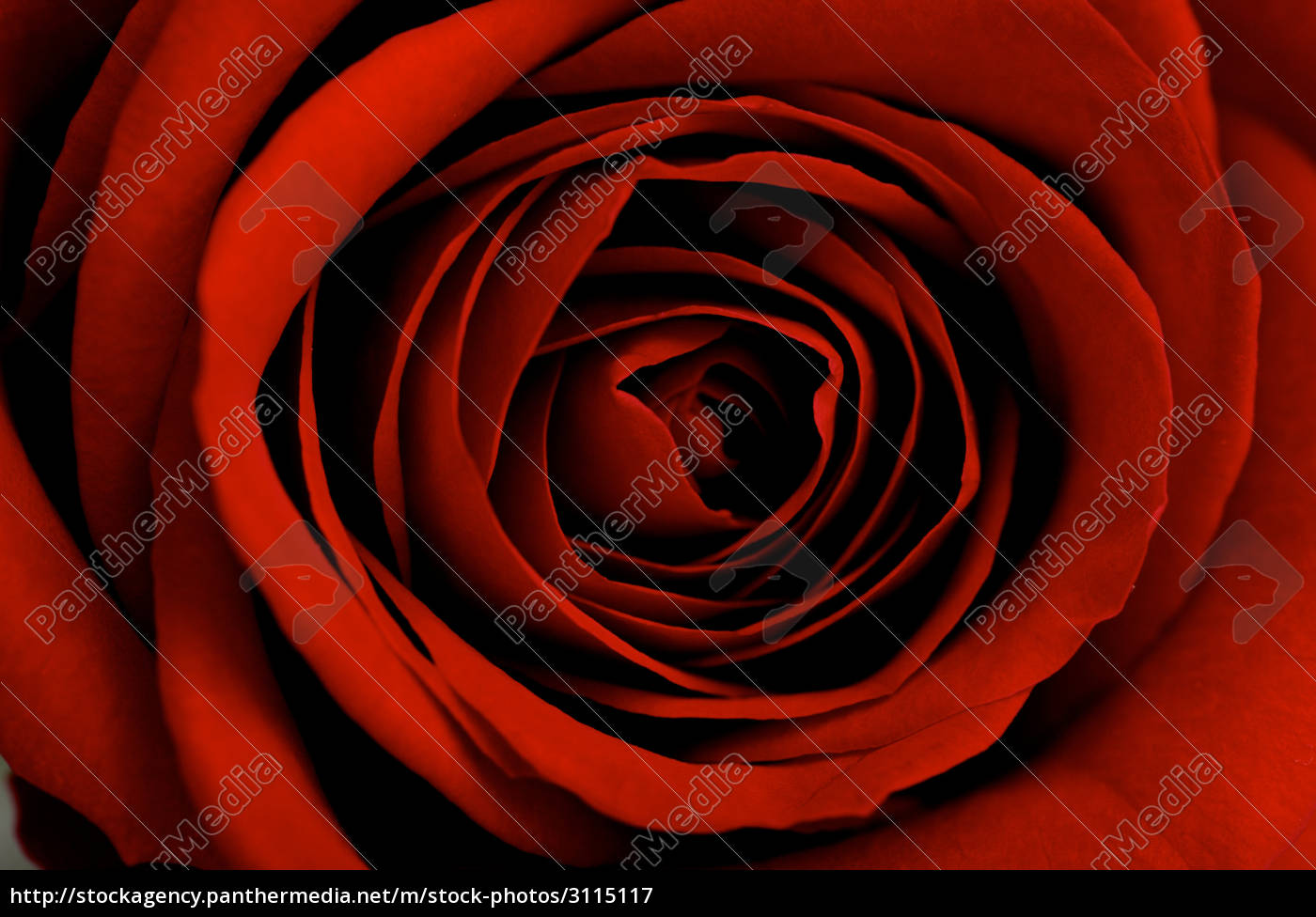 red, rose, close-up - 3115117