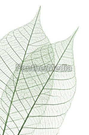 skeleton, leaves - 3121871