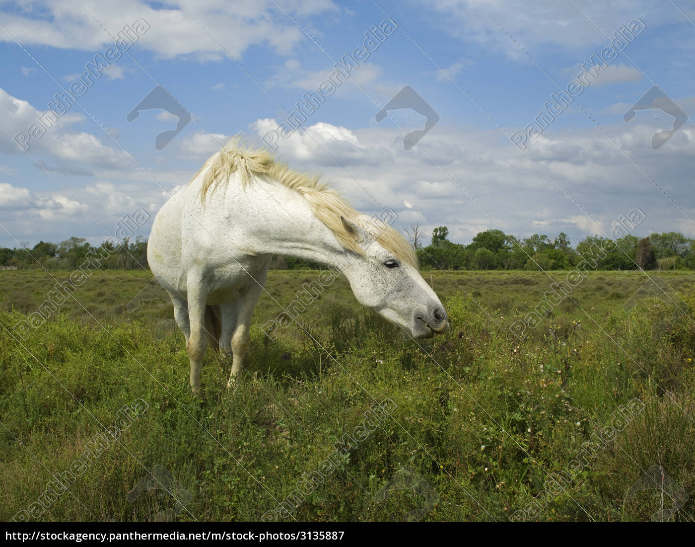 typical, horse, in, camargue, france - 3135887