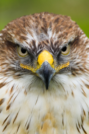 saker, falcon - 3137143
