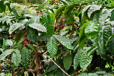 coffee, plant - 3147873
